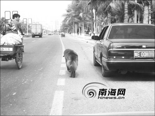 china funny pictures - walking dog with a car