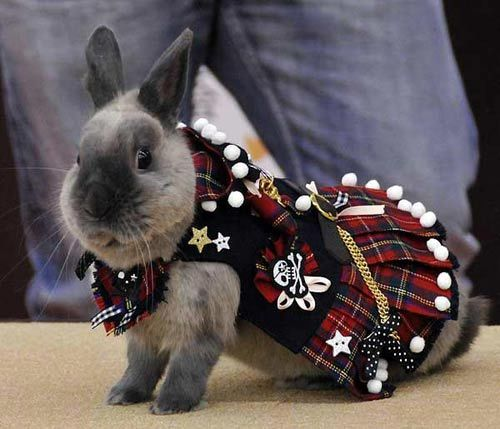rabbit in kilt, china funny picture